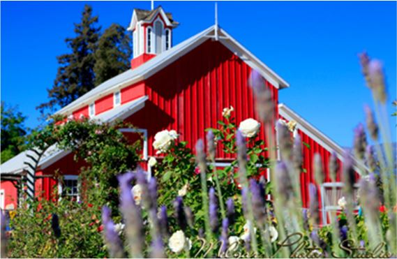 Red barn with white roses and lavender in the foreground